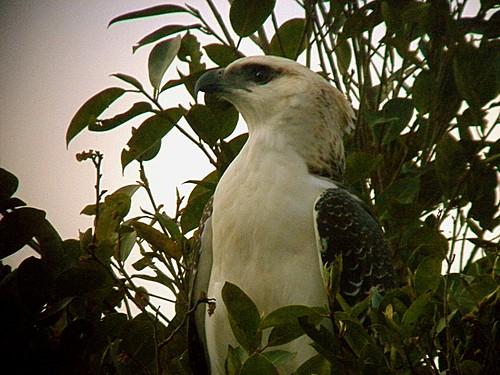 Flores Hawk-eagle (Craig Robson) @ www.birdquest-tours.com